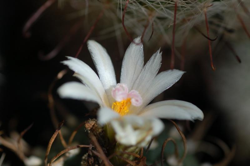 turbinicarpus sp Dsc_4123
