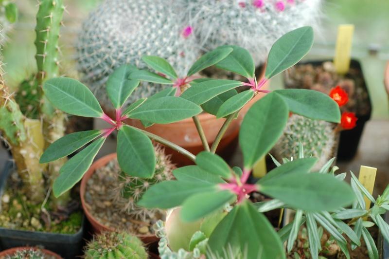 euphorbia bongolavensis Dsc_4144
