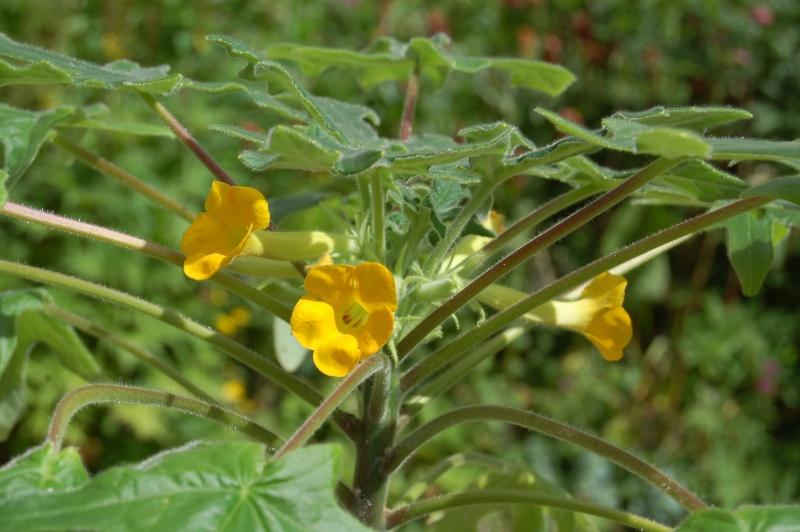 uncarina roeosliana Dsc_4212
