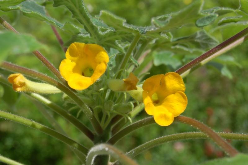 uncarina roeosliana Dsc_4213