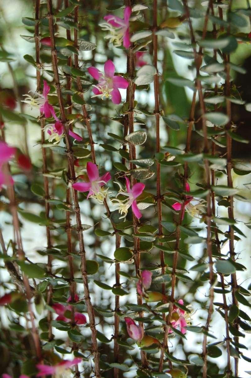 medinilla sedifolia Dsc_4222