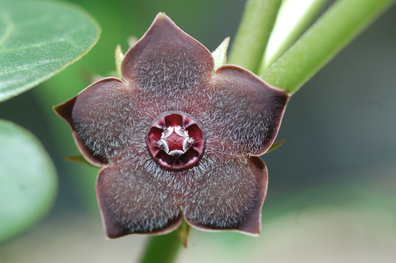matelea cyclophylla Dsc_4310