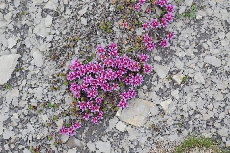 saxifraga opositifolia Dsc_4320