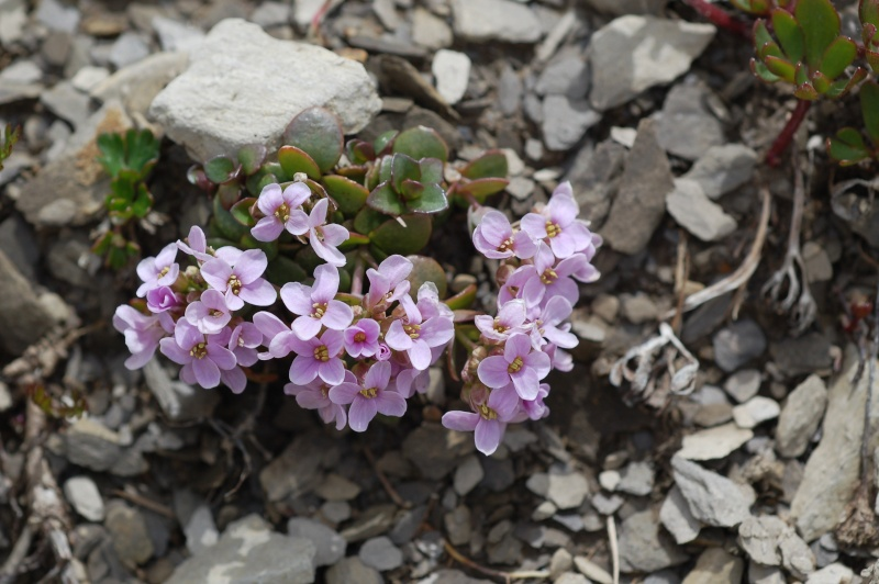 thlaspi rotundifolia Dsc_4321
