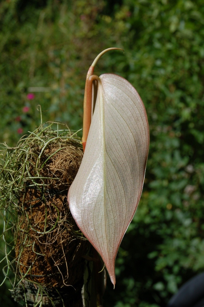 philodendron usheanum Dsc_4512