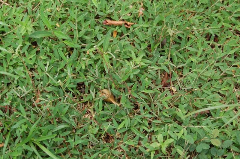 mimosa pudica : illustration de l'utilité de ses mouvements Dsc_5113