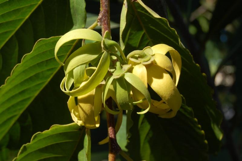 cecropia scjadophylla Dsc_5810