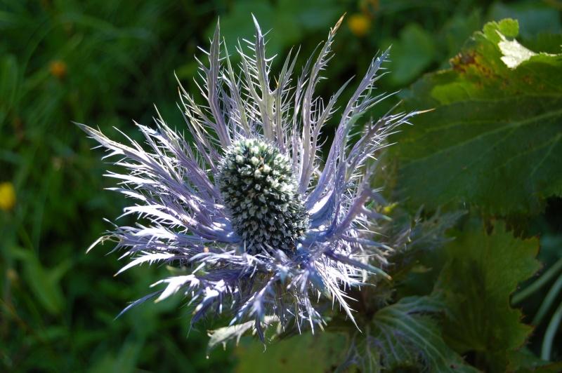 le chardon bleu : eryngium alpinum Eryngi10