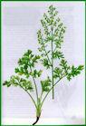 Herbiers Absint10