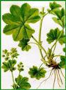 Herbiers Alchem10