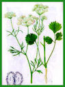 Herbiers Anis10