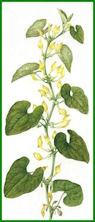Herbiers Aristo10