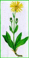 Herbiers Arnica10
