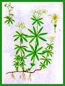 Herbiers Asperu10