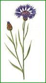 Herbiers Bleuet10