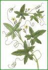 Herbiers Bryone10