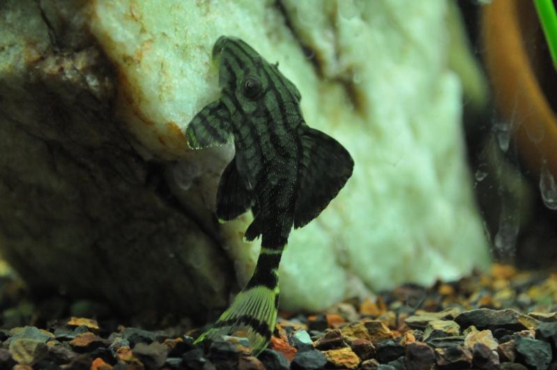 Panaque species? Dsc_1212