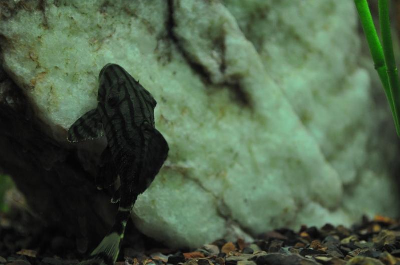 Panaque species? Dsc_1214