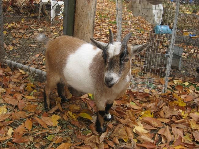question reproduction chèvre miniature Cloche10