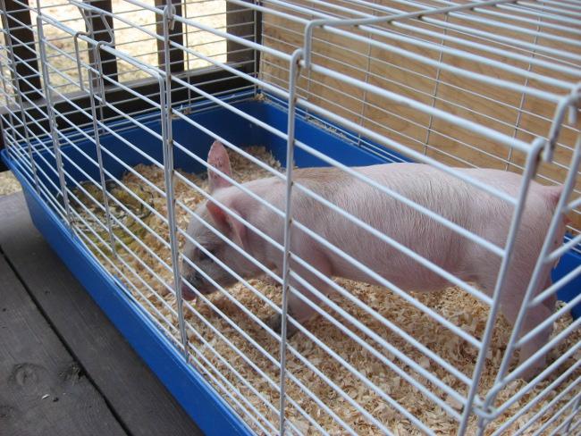 Je vous présente mon cochon : Méchouie Img_3212