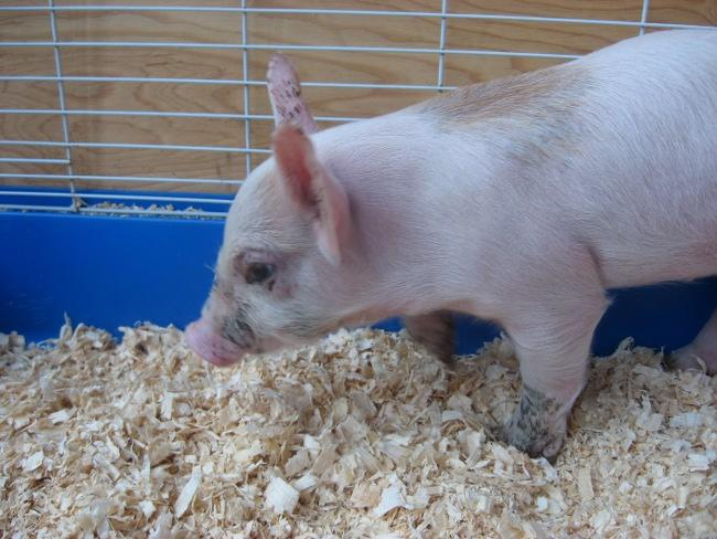 Je vous présente mon cochon : Méchouie Img_3213