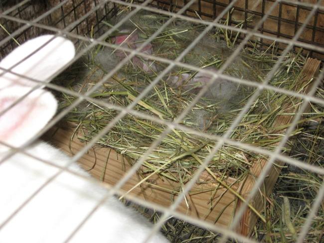 Portée de lapin pour la fête des mères! Nidbab10