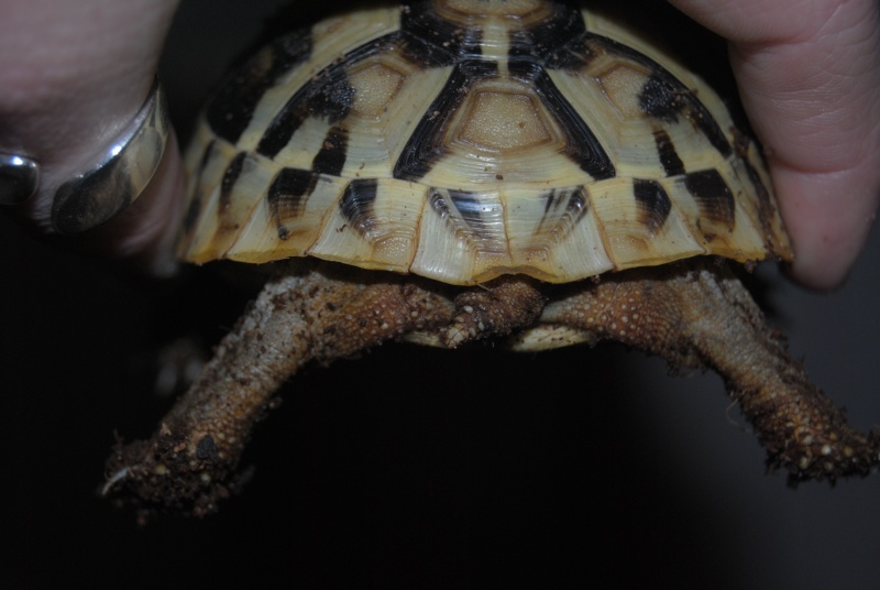 Sexage des tortues Boet. Dsc_0410