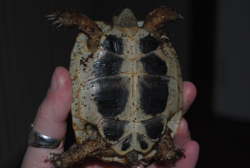 Sexage des tortues Boet. Dsc_0411