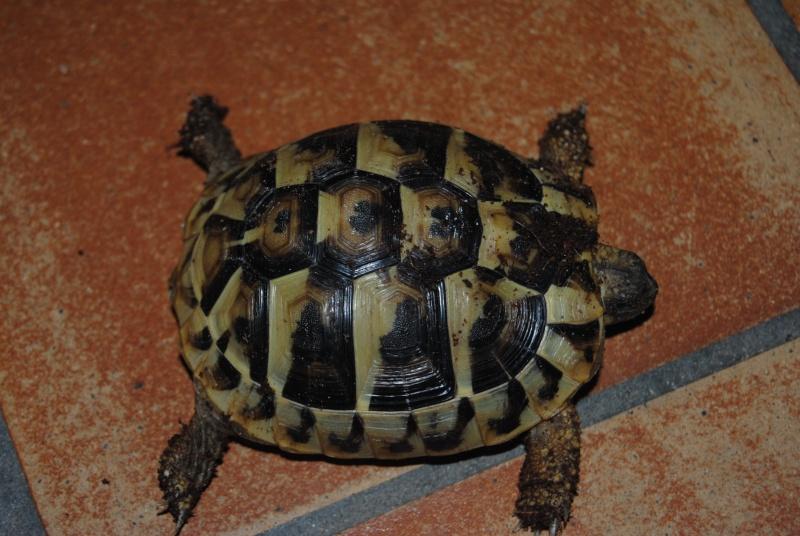 Sexage des tortues Boet. Dsc_0412