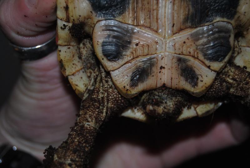 Sexage des tortues Boet. Dsc_0413