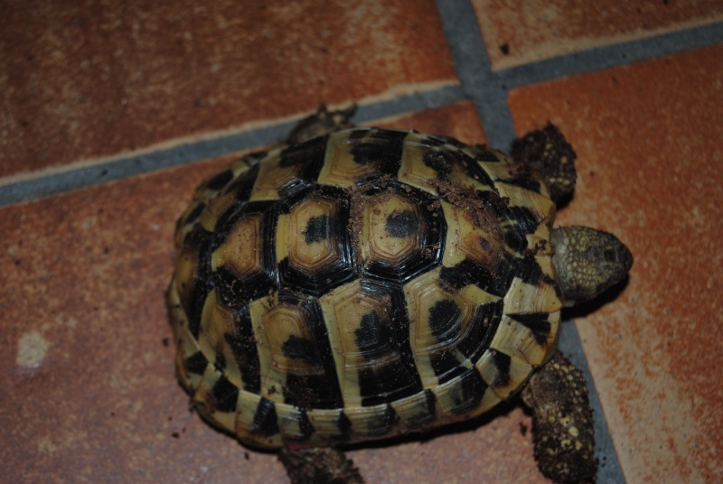 Sexage des tortues Boet. Dsc_0415
