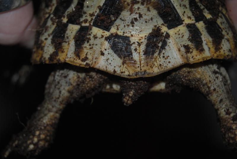 Sexage des tortues Boet. Dsc_0417