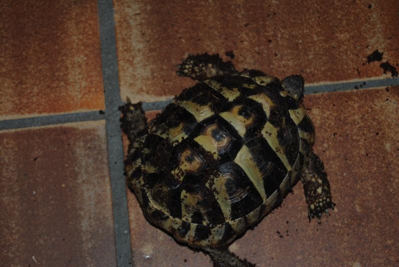 Sexage des tortues Boet. Dsc_0418
