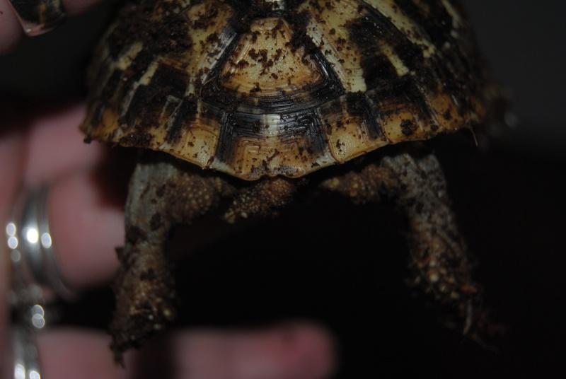 Sexage des tortues Boet. Dsc_0420