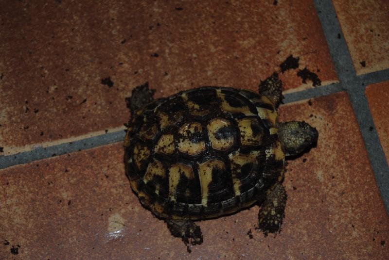 Sexage des tortues Boet. Dsc_0421