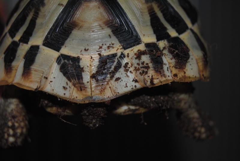 Sexage des tortues Boet. Dsc_0429