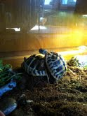 Sexage des tortues Boet. Mail10