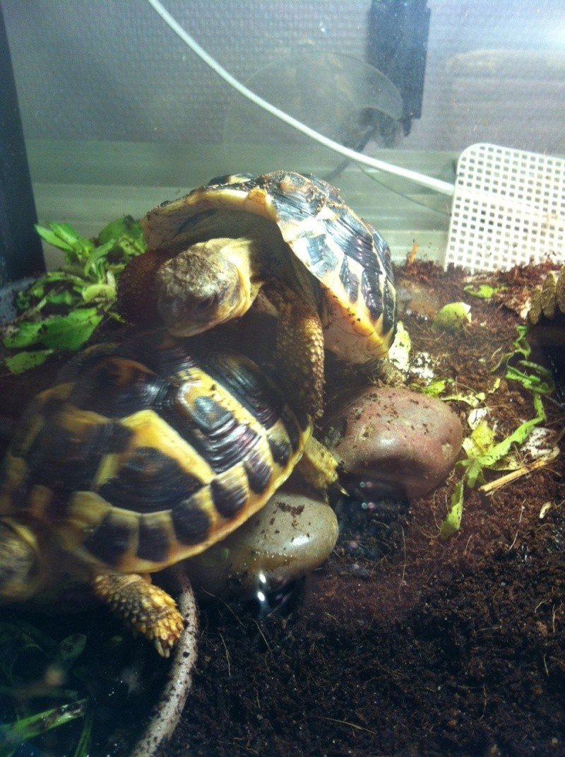 Sexage Tortues Herm. Photo10