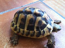 Sexage des tortues Boet. Tort_010