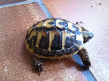 Sexage des tortues Boet. Tort_011