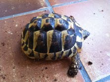 Sexage des tortues Boet. Tort_012