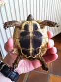 Sexage des tortues Boet. Tort_210