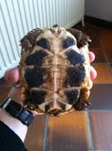 Sexage des tortues Boet. Tort_410