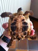 Sexage des tortues Boet. Tortu_10