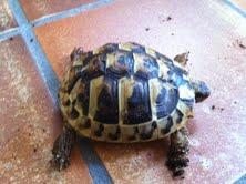 Sexage des tortues Boet. Tortu_12