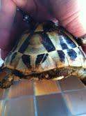 Sexage des tortues Boet. Tortu_13