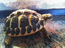 Sexage Tortues Herm. Tortue10