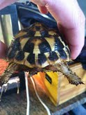 Sexage Tortues Herm. Tortue11