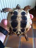 Sexage des tortues Boet. Totu_010