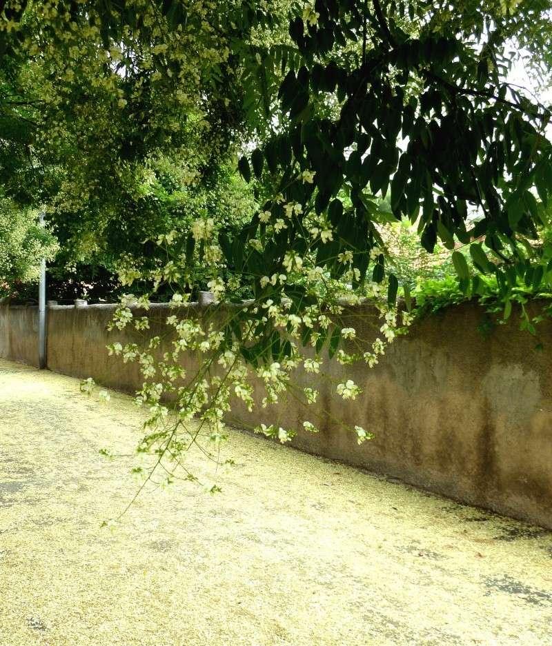 un arbre d'alignement à identifier [Sophora japonica] Tapis_12